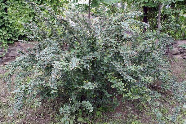 кизильник-черноплодный