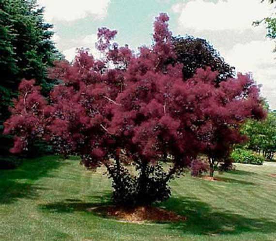 11-котинус-дерево